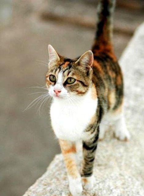 Jenis Kucing Lynx Jenis Jenis Kucing Rizka Briana 10