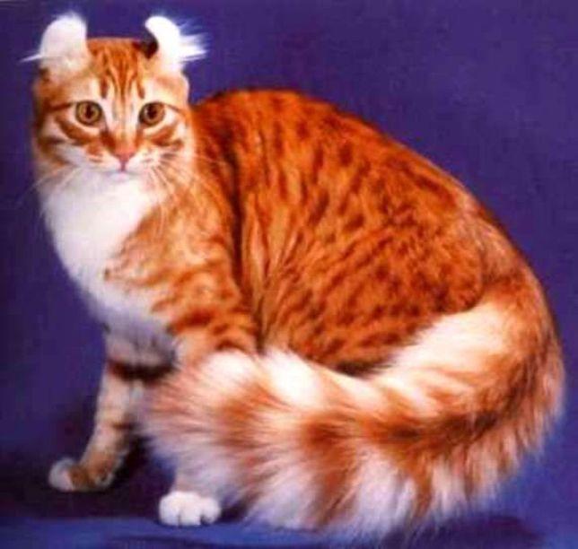 Kucing American Curl Longhair Cat Www Kucing Biz