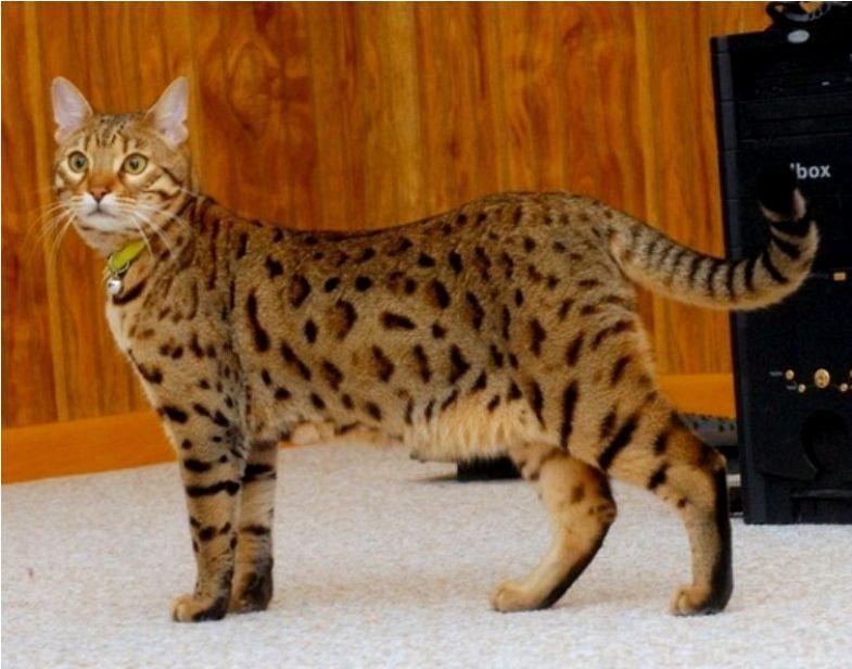 Kucing Bengal Cat Www Kucing Biz
