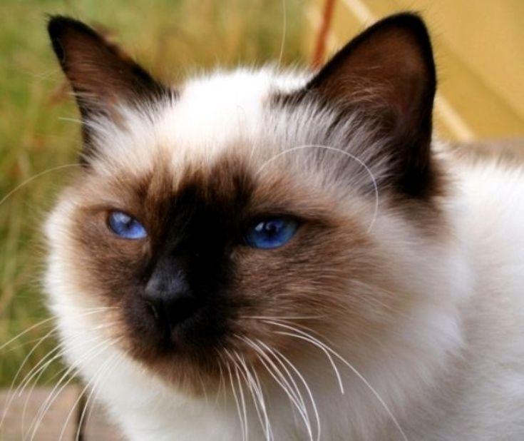 Kucing Birman Burma Birma Cat Www Kucing Biz