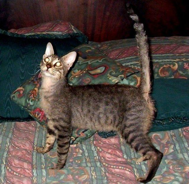 Jenis Ras Kucing Dng Huruf Awal B Www Kucing Biz