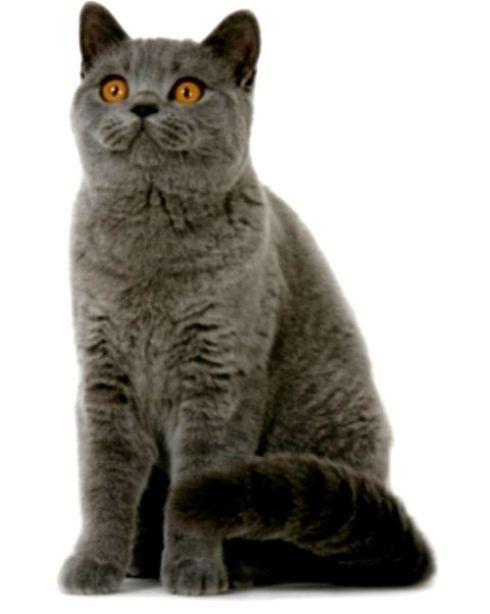 Kucing British Shorthair Cat Www Kucing Biz