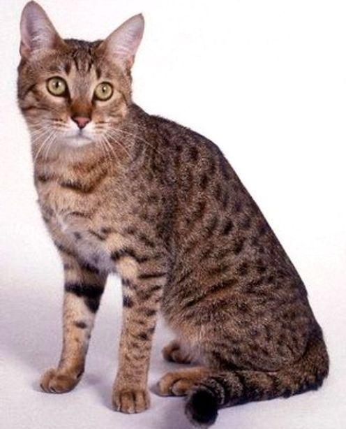 Jenis Ras Kucing Dng Huruf Awal C Www Kucing Biz