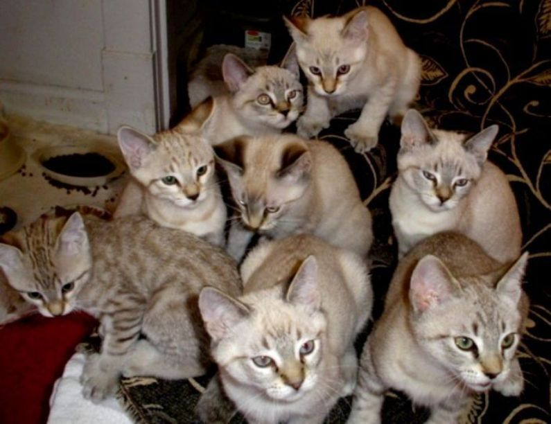 Jenis Ras Kucing Dng Huruf Awal D E F G Www Kucing Biz