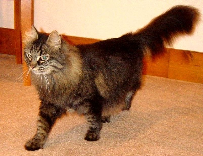Kucing DOMESTIC LONGHAIR (DLH) (Companion Longhair, House Cat