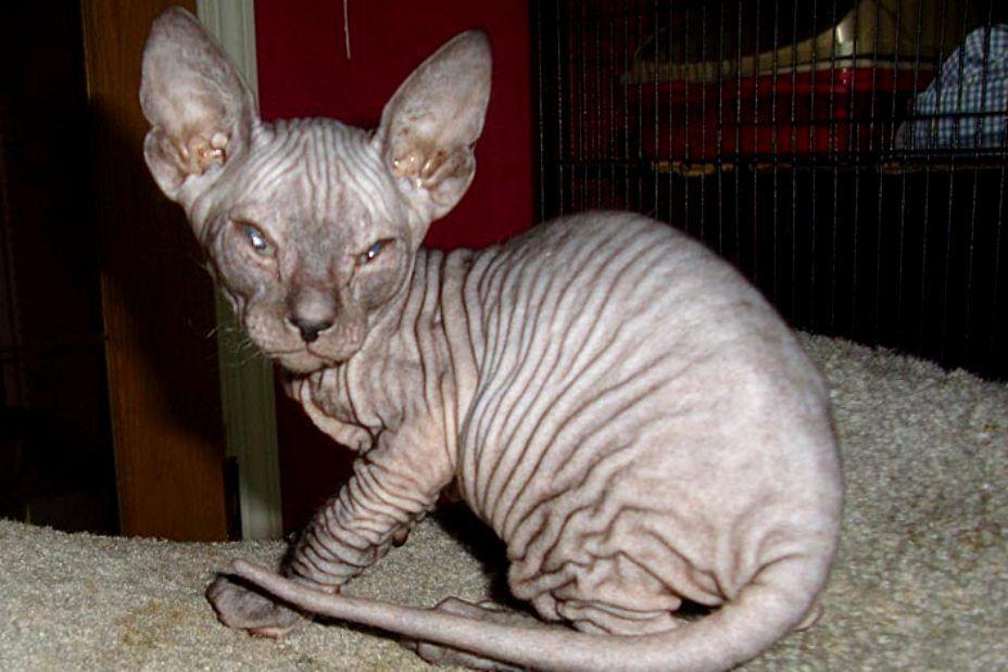 Kucing Donskoy Don Sphynx Cat Www Kucing Biz