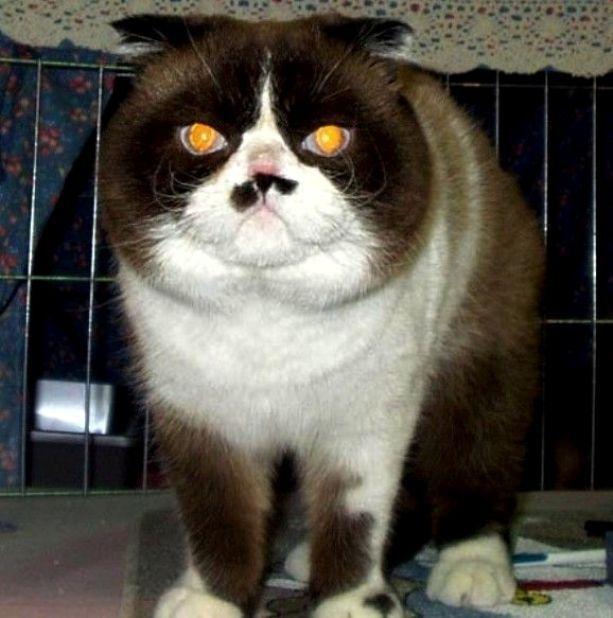 Kucing Exotic Fold Foldex Exofold Cat Www Kucing Biz