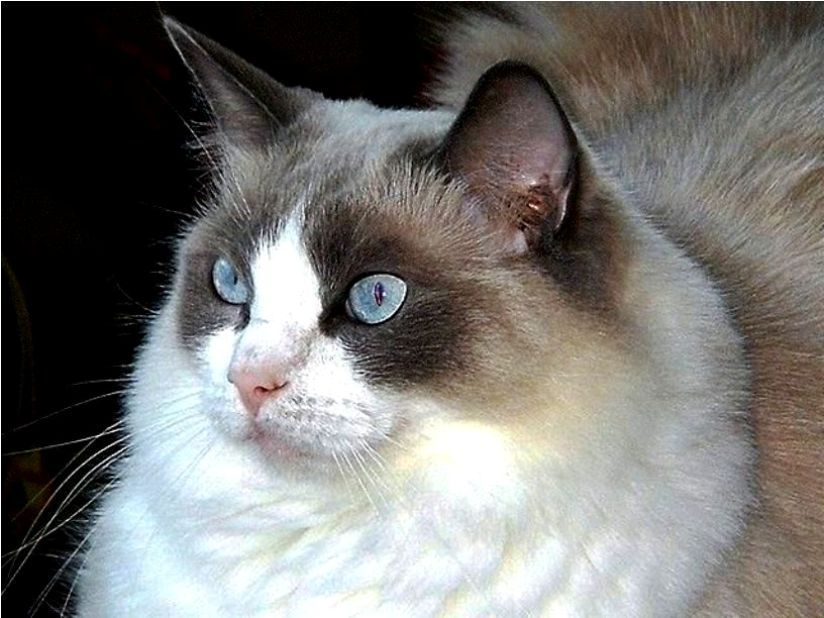 Kucing Ragdoll Cat Www Kucing Biz