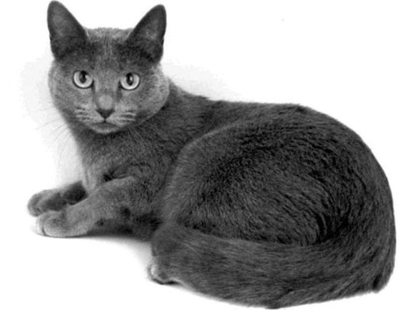 Kucing Russian Blue Cat Www Kucing Biz