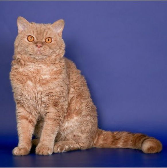 Kucing Selkirk Rex Shorthair Cat Www Kucing Biz