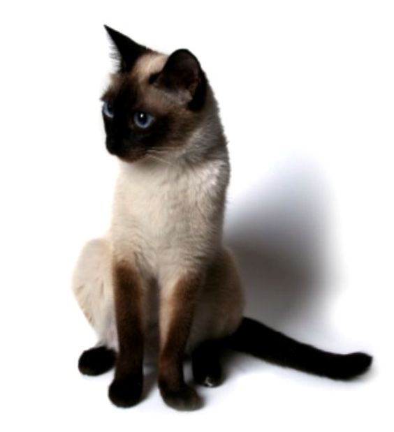 kucing-siam-siamese-d jpgKucing Siam