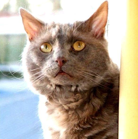 Jenis Ras Kucing Dng Huruf Awal T U V W X Y Z Www Kucing Biz