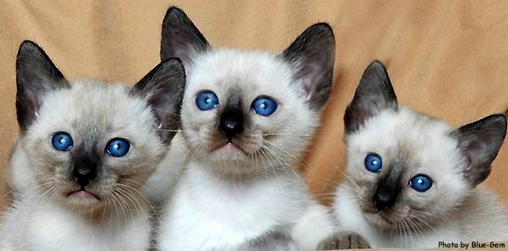 Kucing Thai Old Style Siamese Thailand Cat Www Kucing Biz