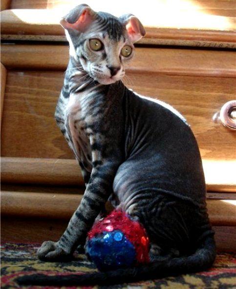 Kucing Ukrainian Levkoy Cat Www Kucing Biz