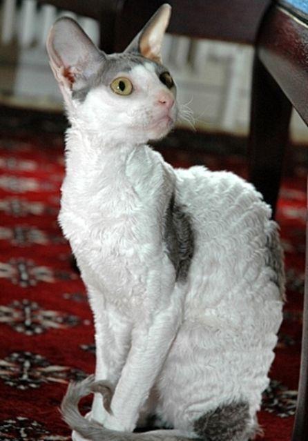Kucing Cornish Rex Cat Www Kucing Biz