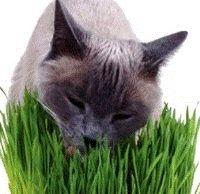 Rumput Hijau Baik untuk Pencernaan Kucing