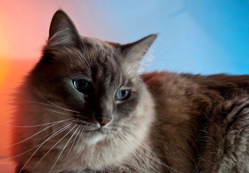 Kucing Hewan Pembawa Keberuntungan Www Kucing Biz