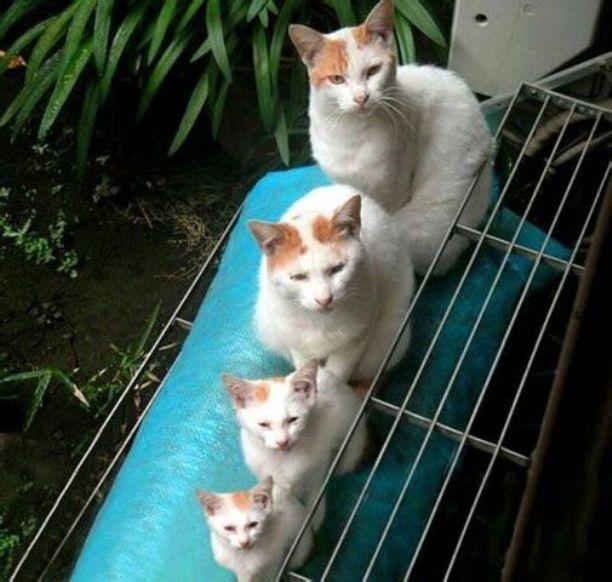 keluarga kucing