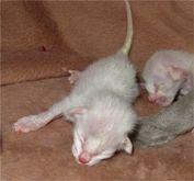 Tahapan Pertumbuhan dan Perkembangan Kucing