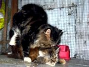 Proses Menjodohkan dan Mengawinkan Kucing